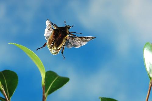 0226 2012年8月 9日 (木) コガネムシの仲間 | 固定リンク   昆虫の楽園